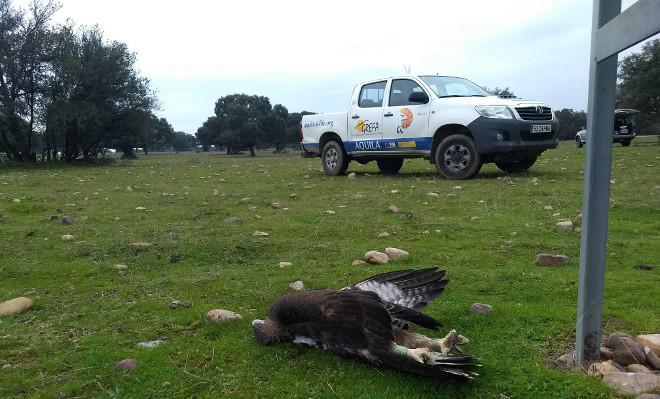 Un águila de Bonelli seguida por GPS yace electrocutada al pie de un tendido eléctrico de la provincia de Toledo, tras ser localizada por el Equipo Tendidos de AQUILA a-LIFE.