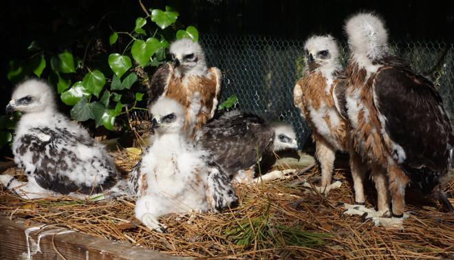 Pollos de águila de Bonelli criados en cautividad por UFCS-LPO en 2019 en Francia para el proyecto AQUILA a-LIFE.